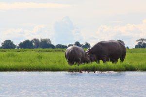 hippos chobe national park botswana