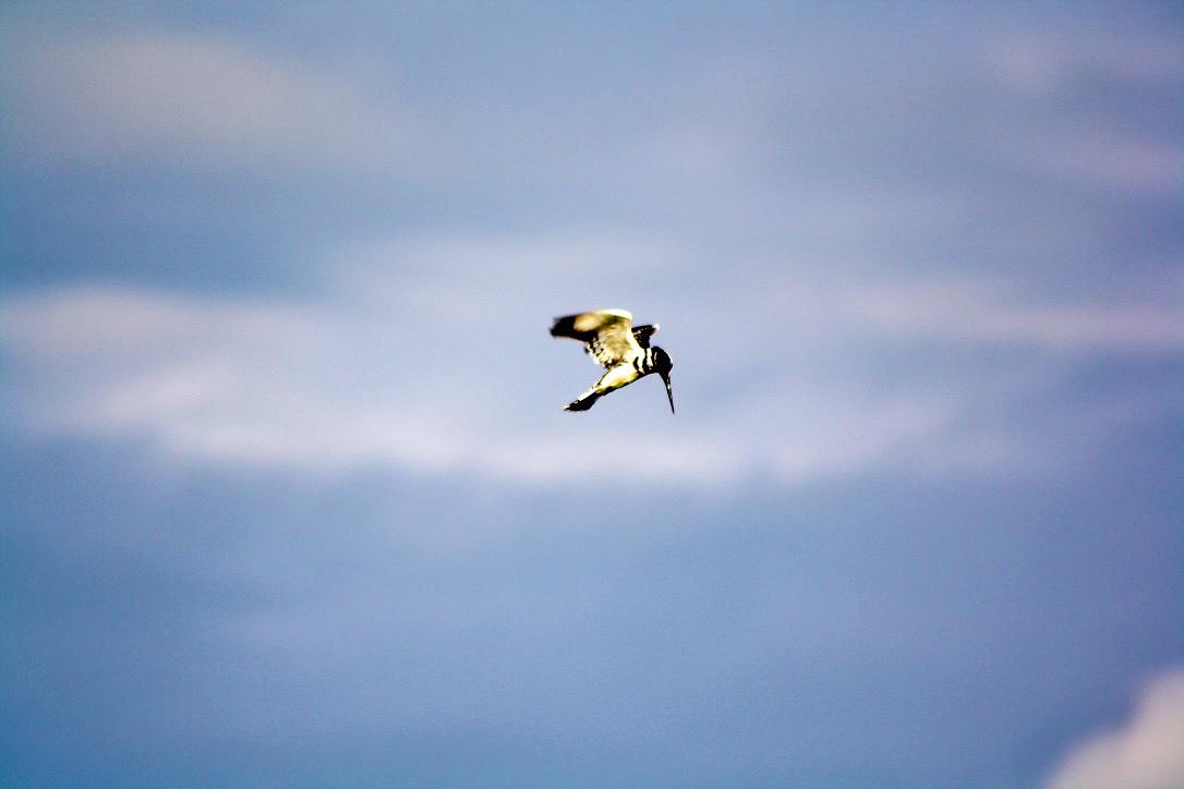 kingfisher bird botswana chobe national park