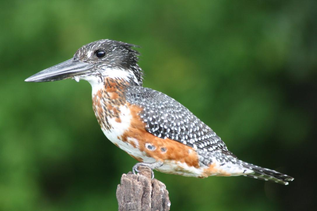 kingfisher chobe national park botswana