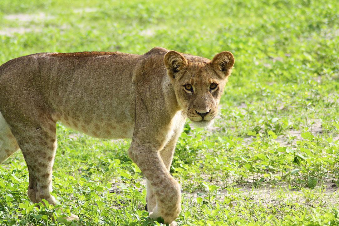 lion cub chobe national park botswana