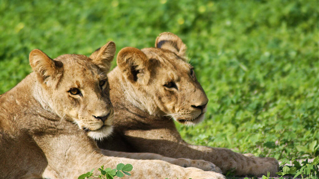 lion cubs chobe national park botswana