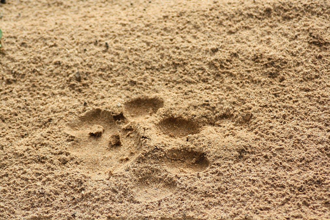 lion paw print chobe national park botswana