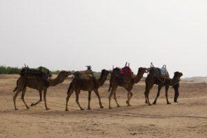 camels beach essaouira morocco