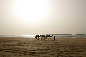 sunset beach camels essaouira morocco