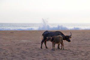 Water buffaloes on the beach on Simeulue Island Sumatra