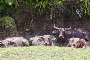 Water buffalos on Simeulue Island Sumatra