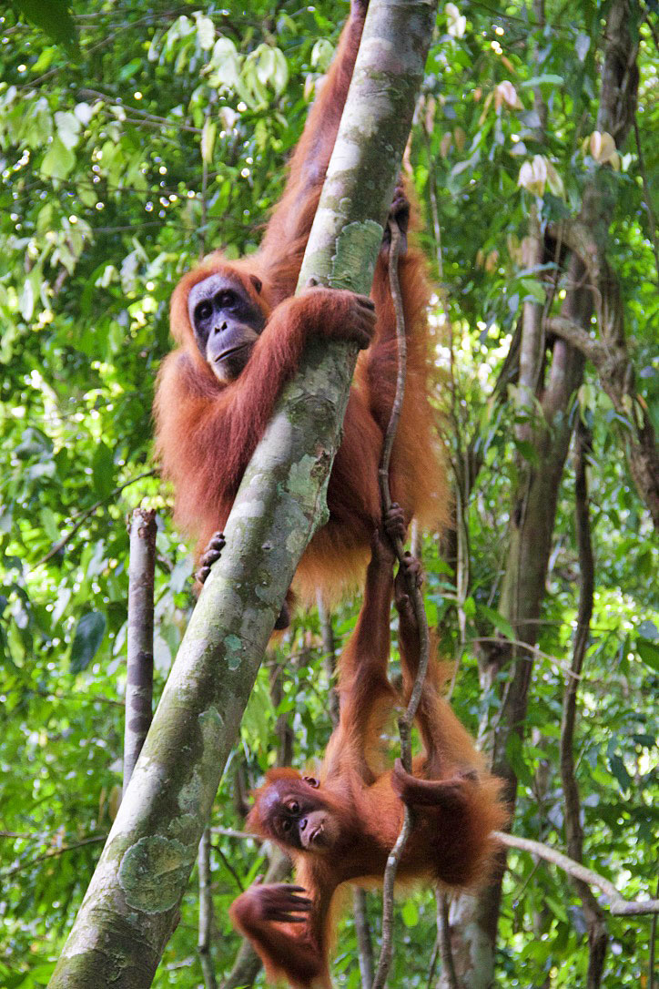 baby orangutans bukit lawang jungle trekking sumatra