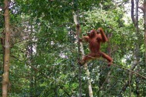 bukit lawang jungle orangutan trees sumatra