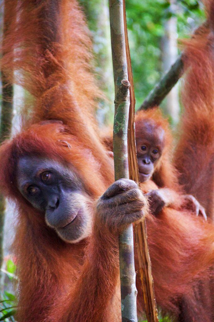 bukit lawang jungle trekking orangutans baby sumatra