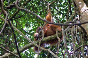 jungle orangutan bukit lawang trekking sumatra