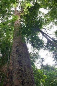 jungle tree sumatra bukit lawang