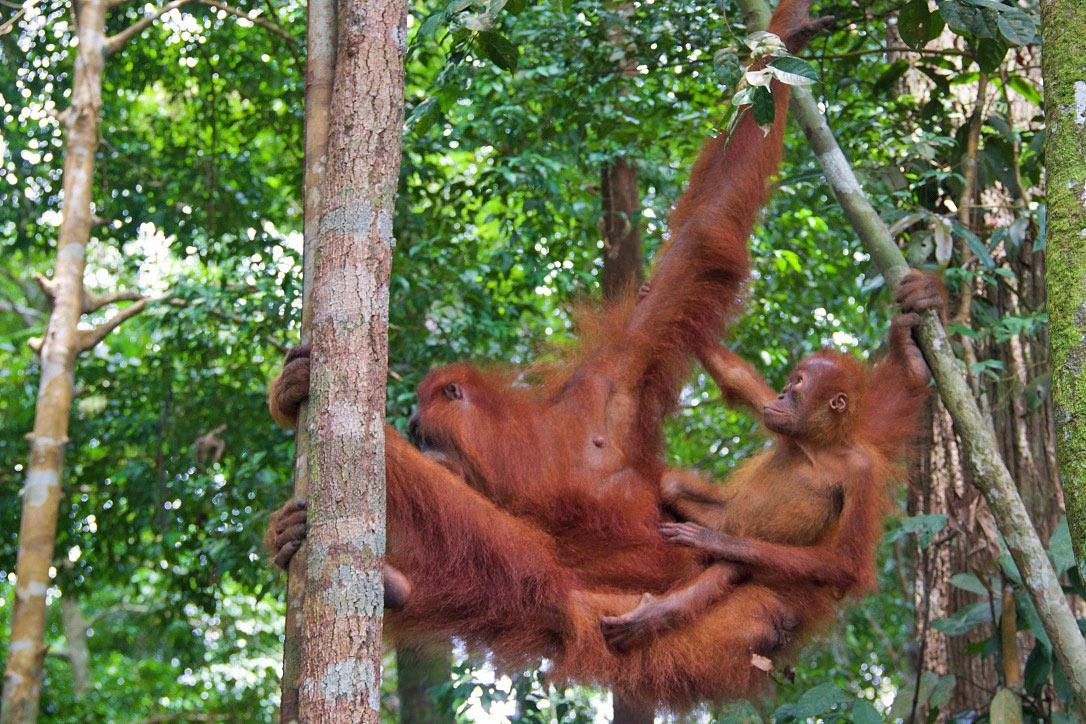 jungle sumatra orangutans bukit lawang trekking