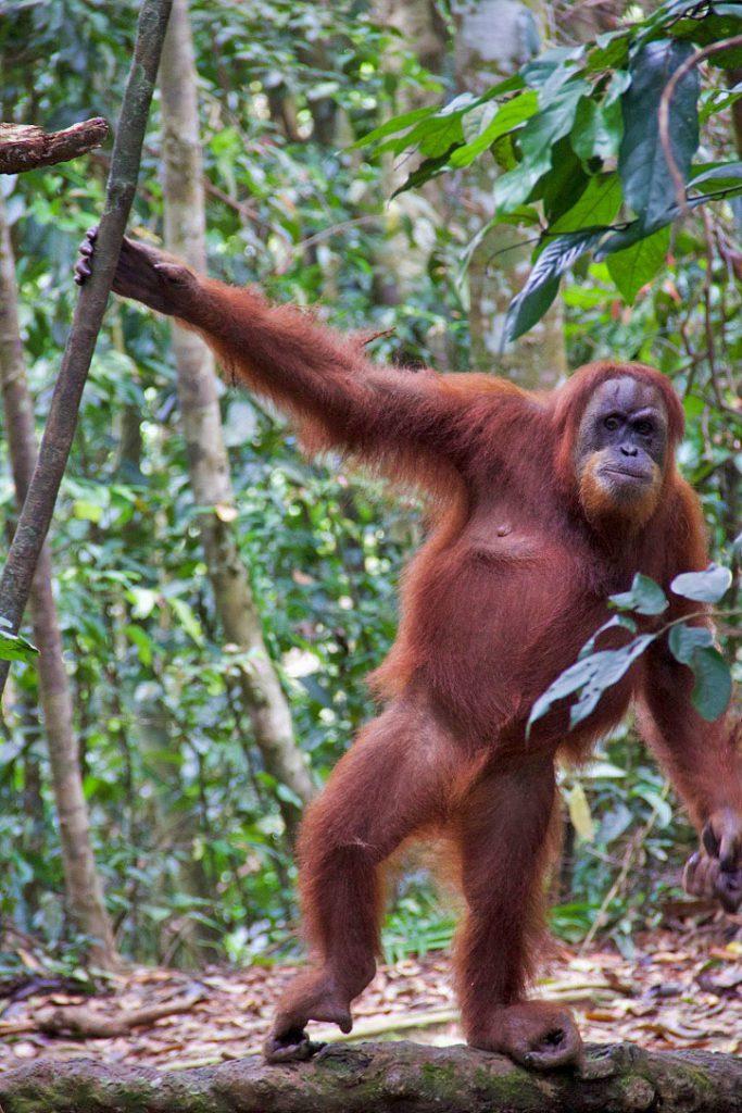 mina orangutan sumatra jungle bukit lawang