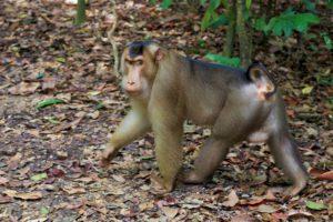 Monkey in Gunung Leuser national park in Sumatra
