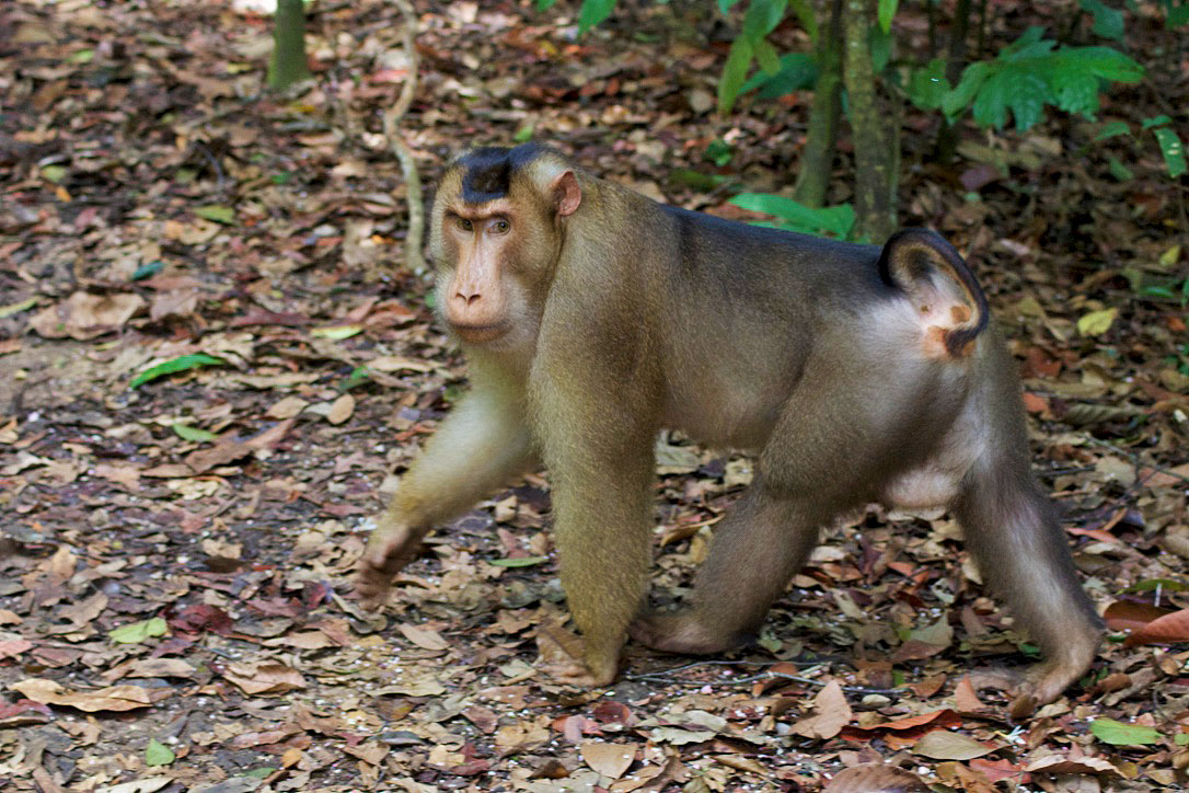 Monkey in Gunung Leuser national park in Sumatra