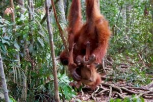 orangutan baby bukit lawang jungle trekking sumatra