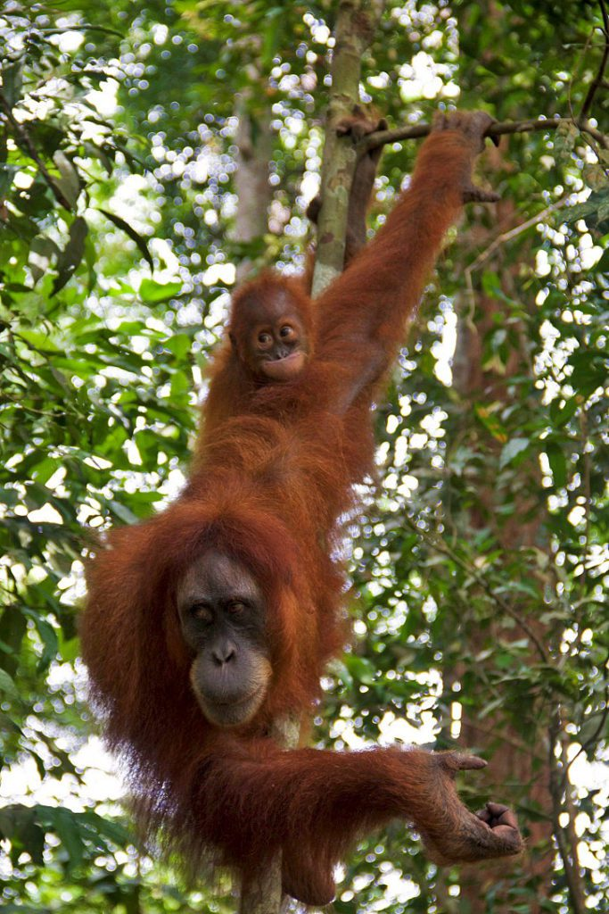 orangutan baby mother jungle bukit lawang sumatra