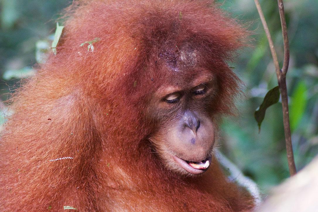 orangutan portret bukit lawang jungle sumatra