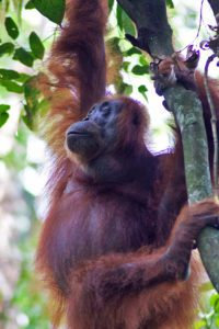 Orangutan in a tree in the jungle of Gunung Leuser National Park sumatra
