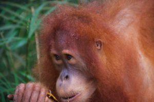 orangutan wildlife jungle sumatra bukit lawang