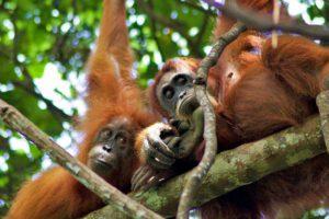 orangutans jungle sumatra bukit lawang