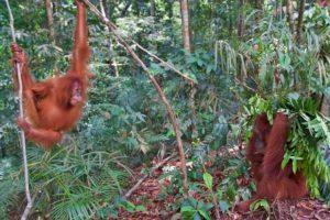playing orangutans jungle trekking bukit lawang sumatra