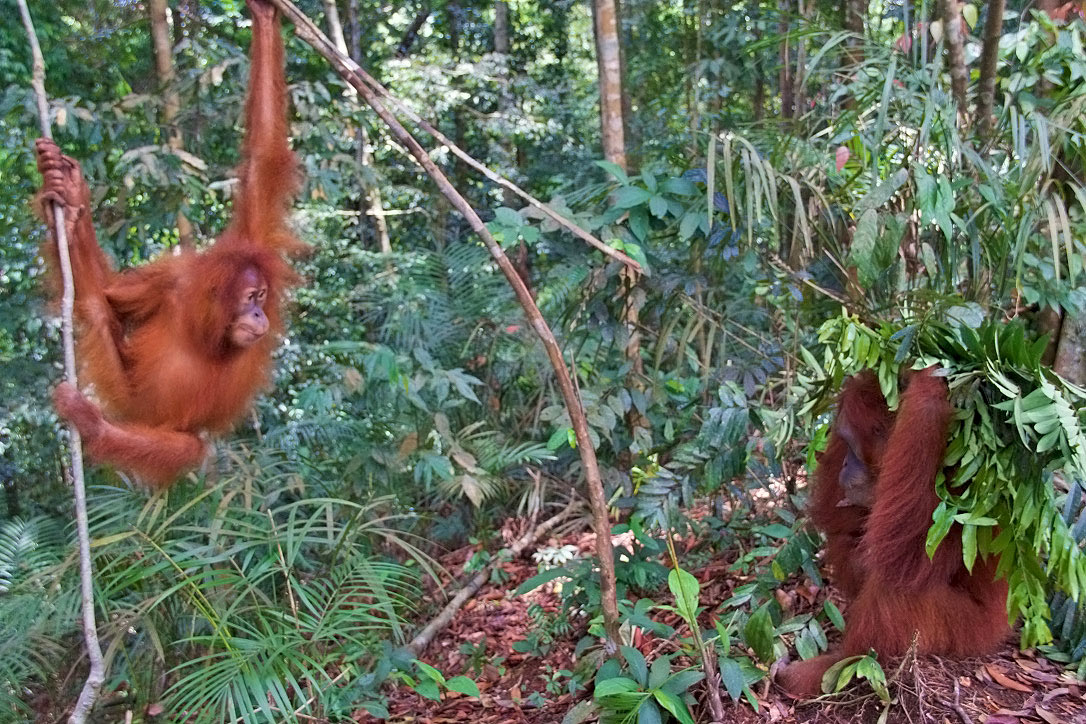 playing orangutans jungle trekking bukit lawang sumatra