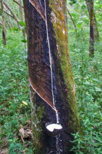 rubber plantation jungle bukit lawang sumatra