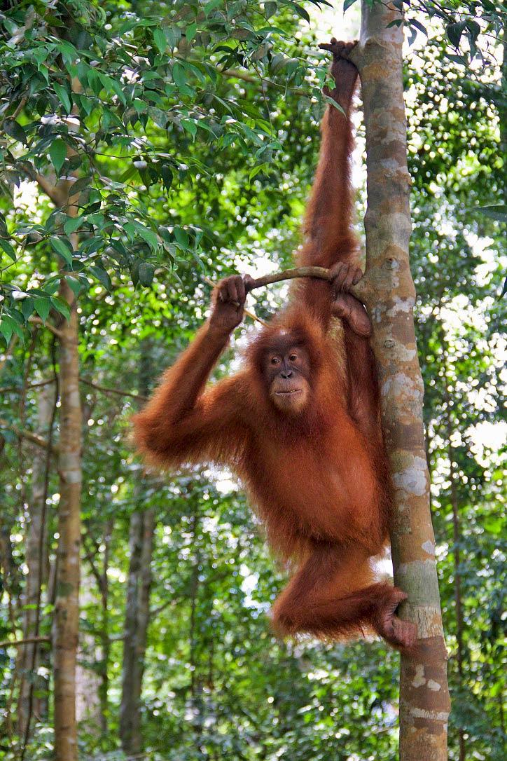 sumatra orangutan jungle trekking bukit lawang