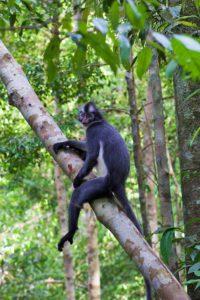 thomas leaf monkey tree jungle sumatra bukit lawang