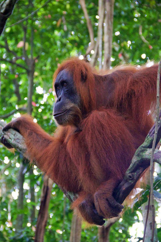 tree orangutan sumatra bukit lawang jungle