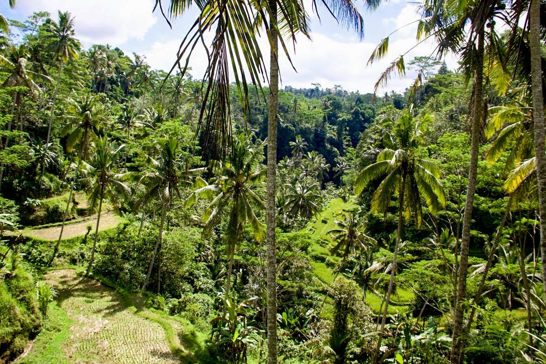 rice fields around gunung kawi bali