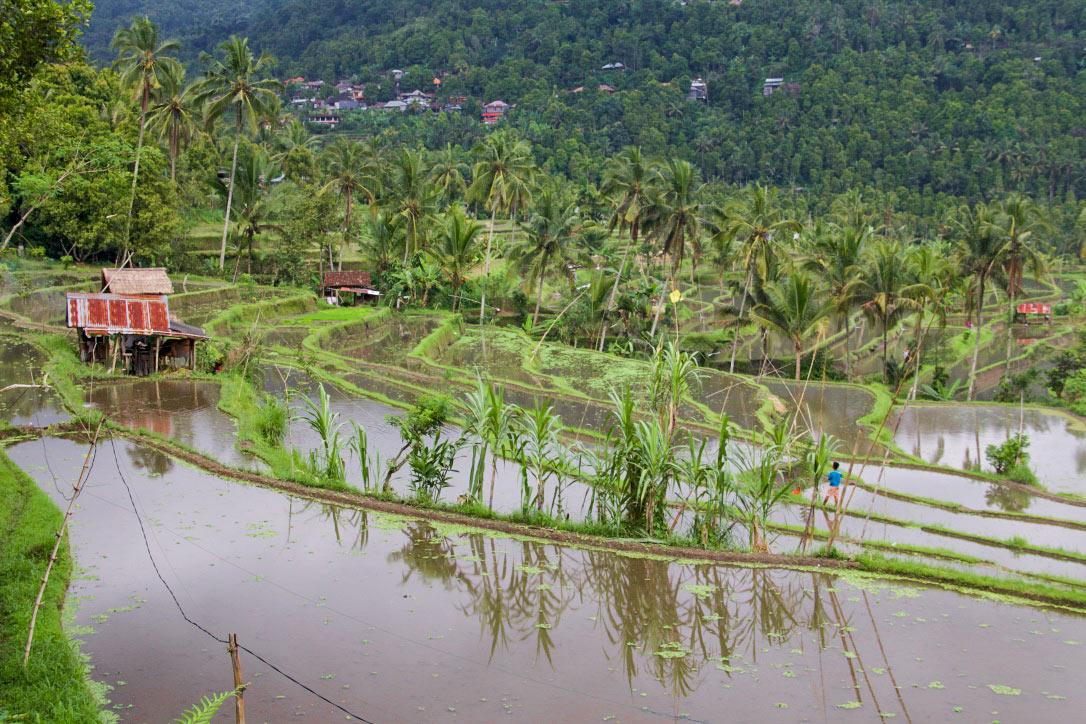 rice fields munduk north bali
