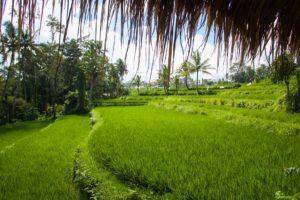 rice fields sandat glamping tents ubud bali
