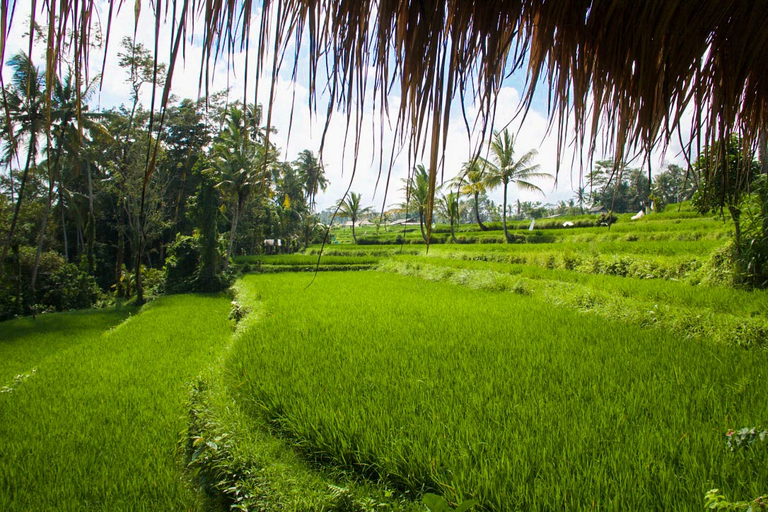 rice fields sandat glamping tents ubud bali