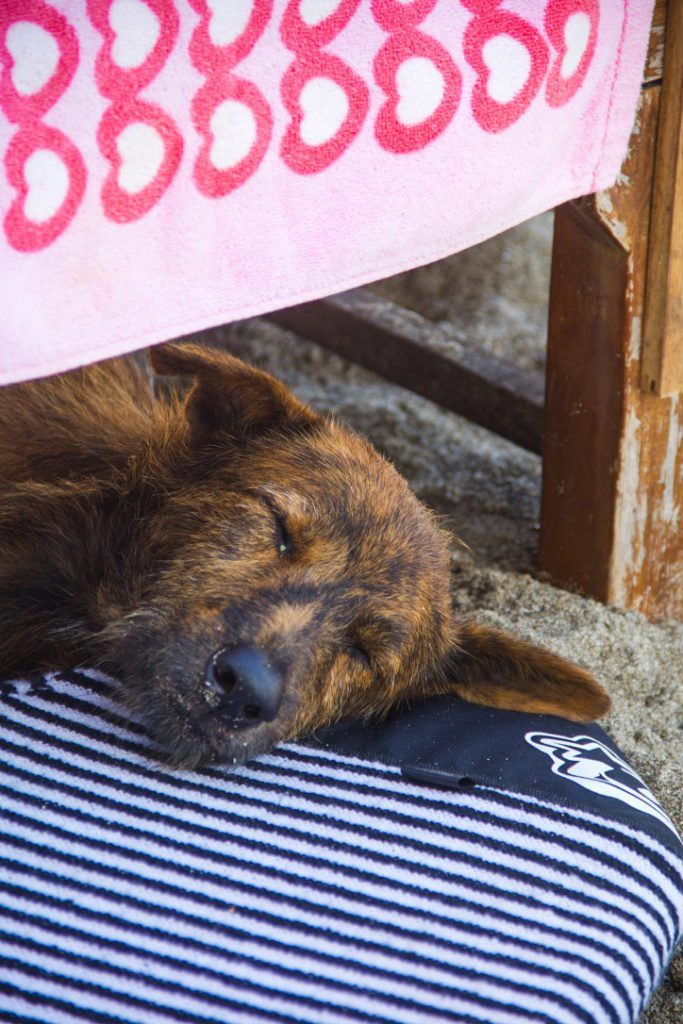 stray dog beach canggu bali