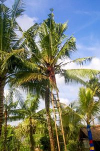 picking coconuts desa seni canggu