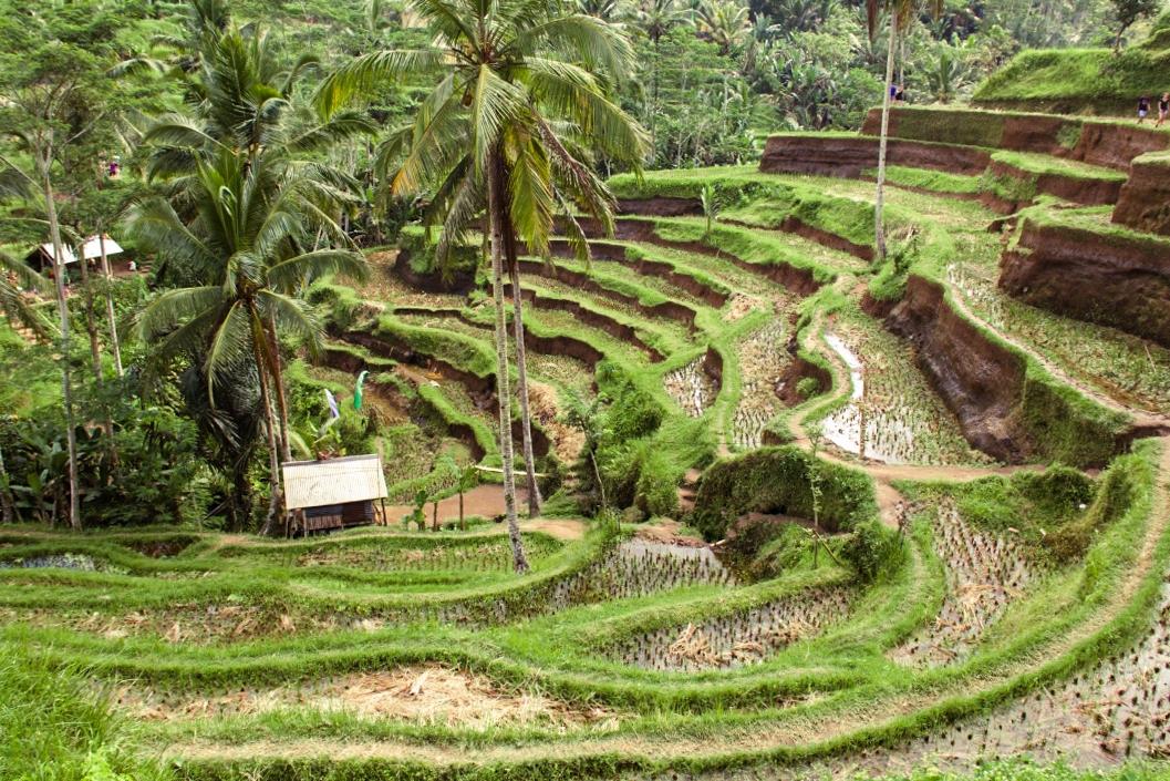 Rice field terraces at Tegallalang Ubud
