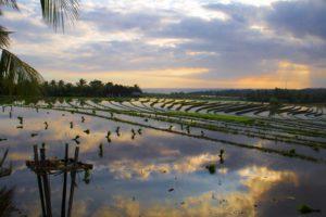 balian beach rice fields sunset bali