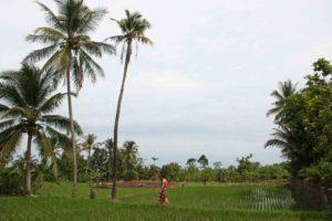 Rice fields at Cimaja Square Java