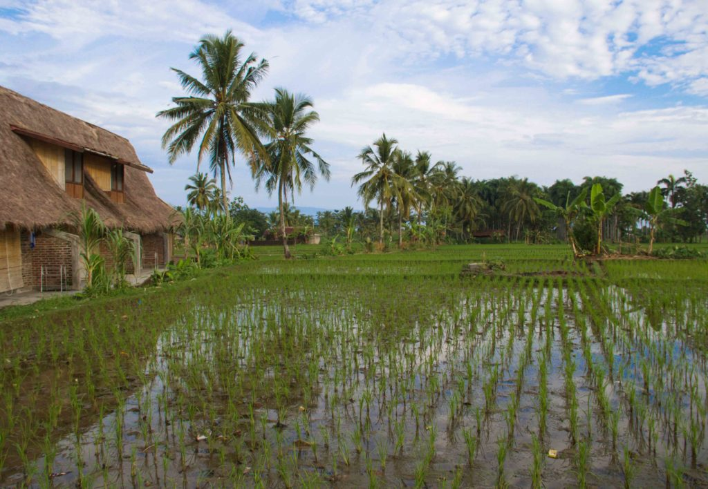 cimaja square rice fields java