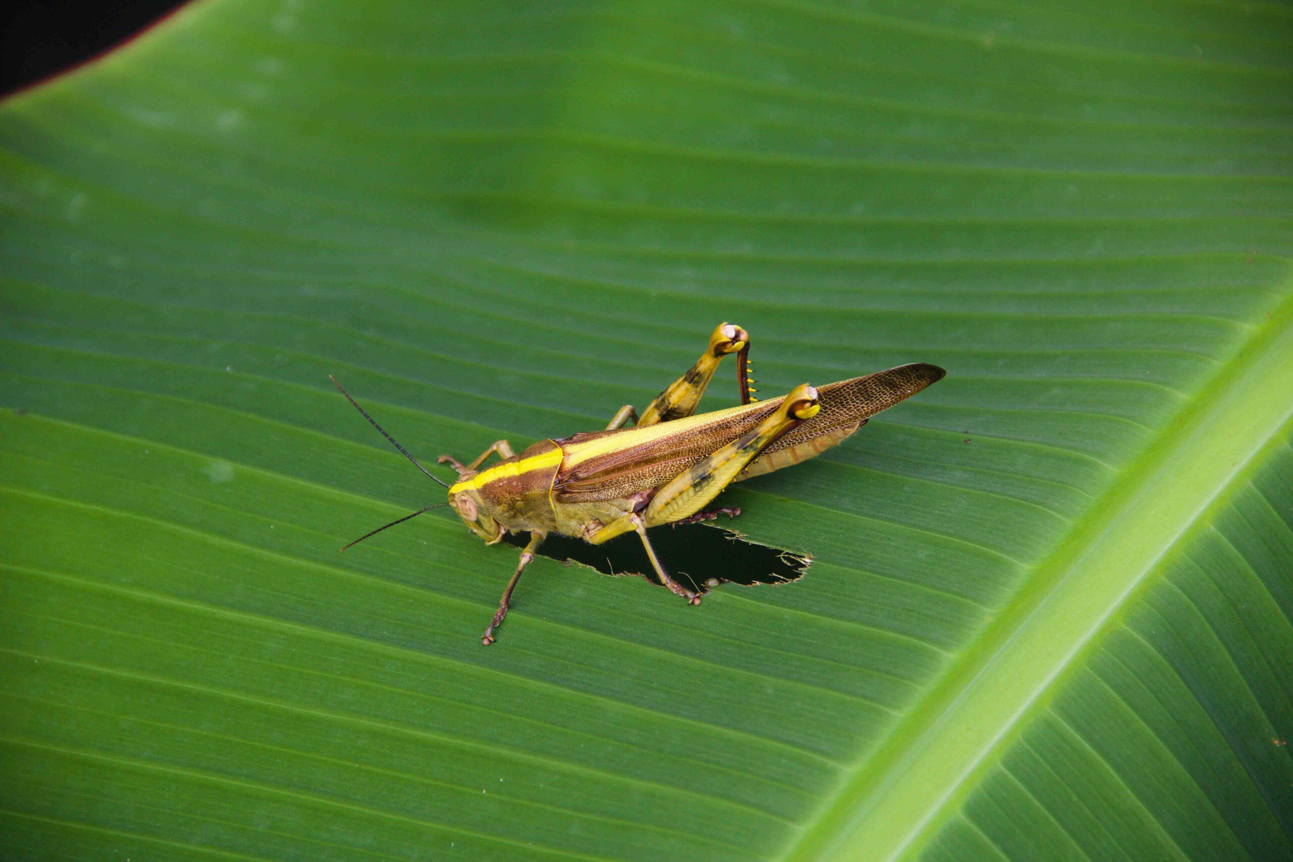 grasshoper cimaja java
