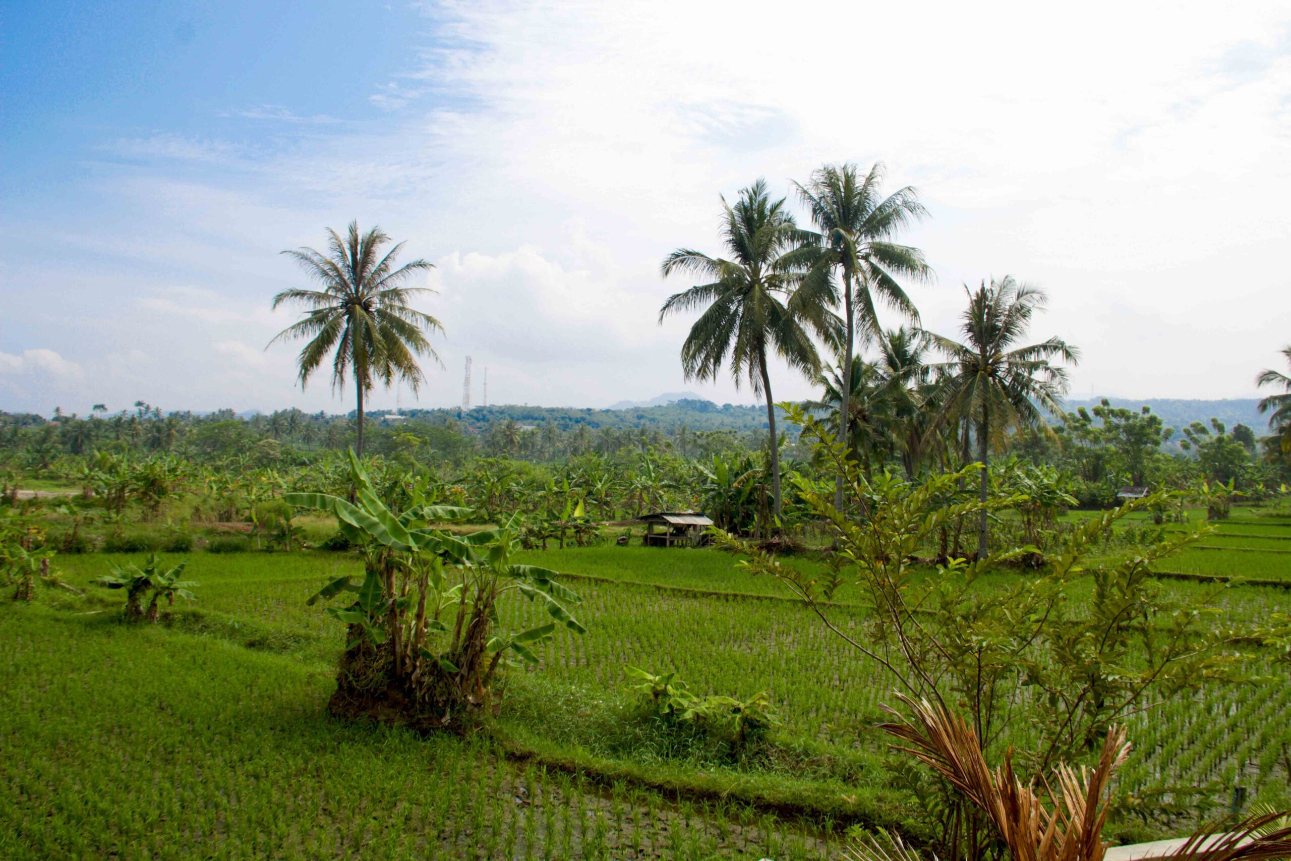 rice fields cimaja java