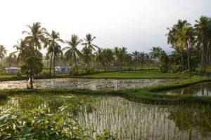 Rice fields in Cimaja Java