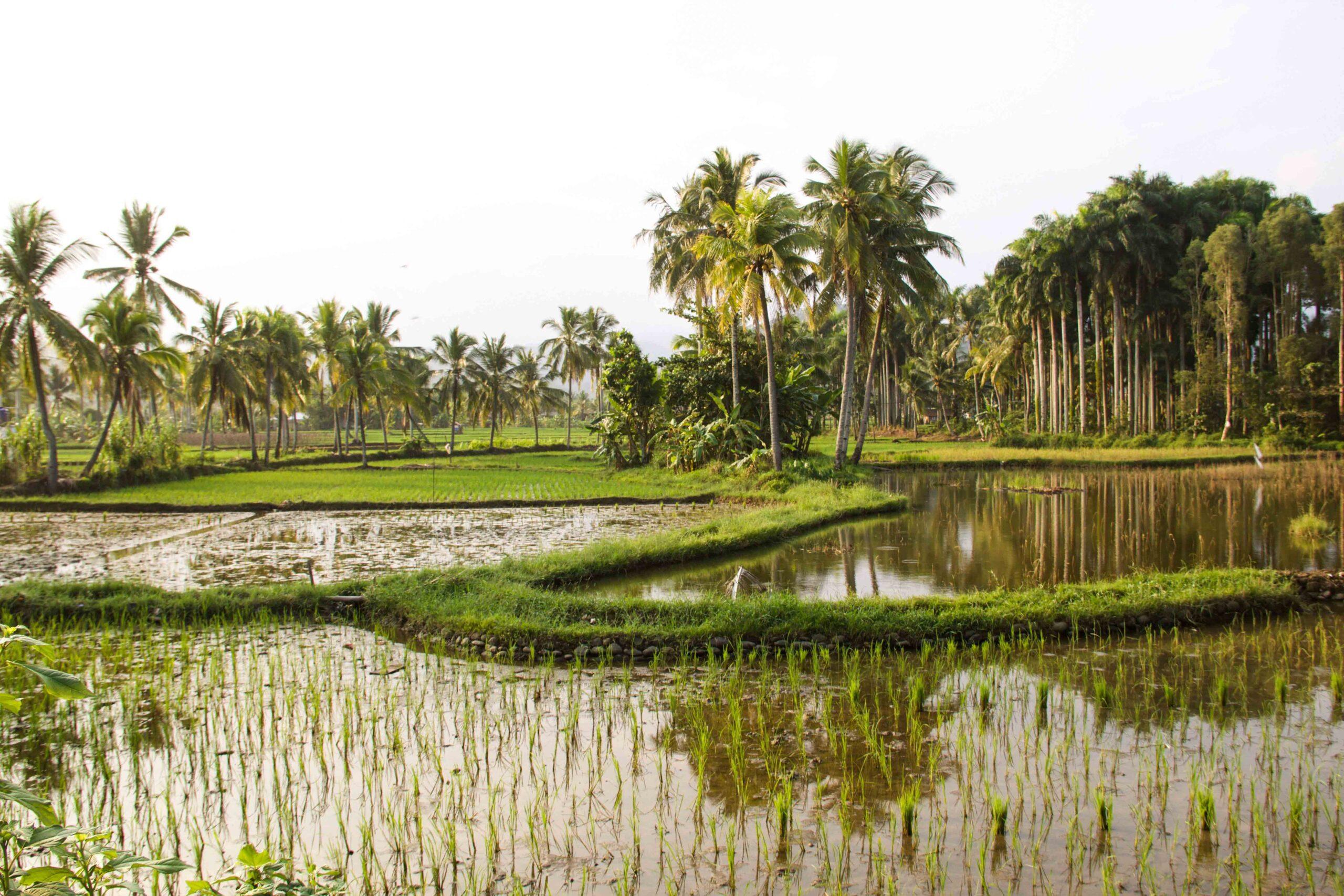 sunrise rice fields cimaja