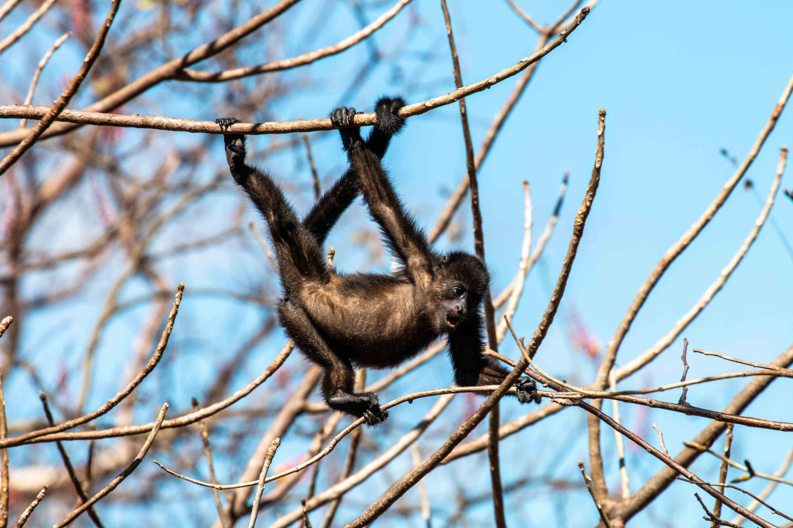 Baby howler monkey at Balcones de Majagual in Nicaragua
