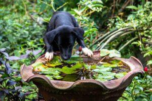 dog Portibi Farms Java