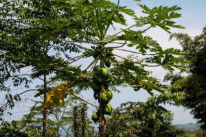 papaya tree at Portibi farms