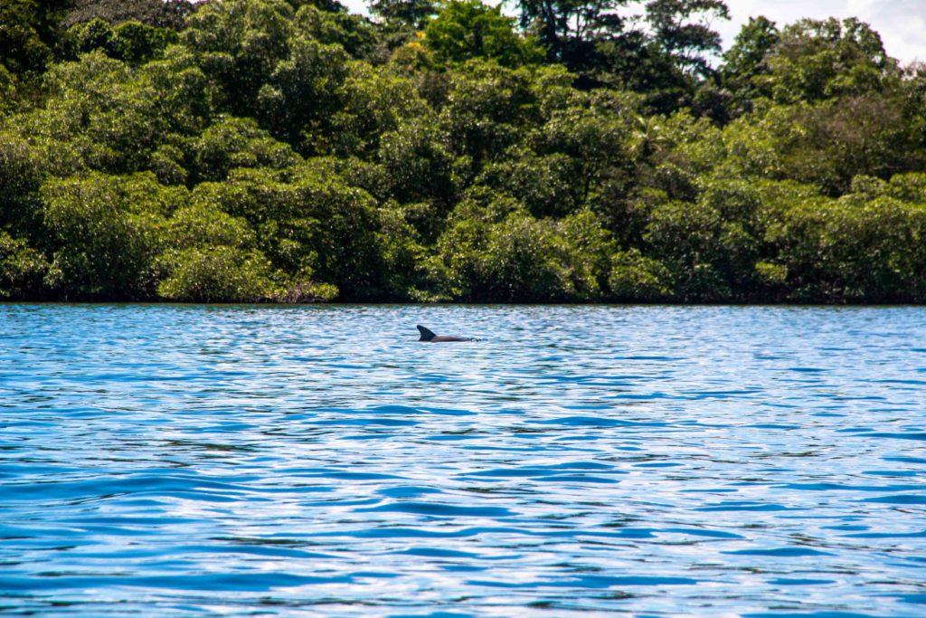 dolphins bocas del toro panama
