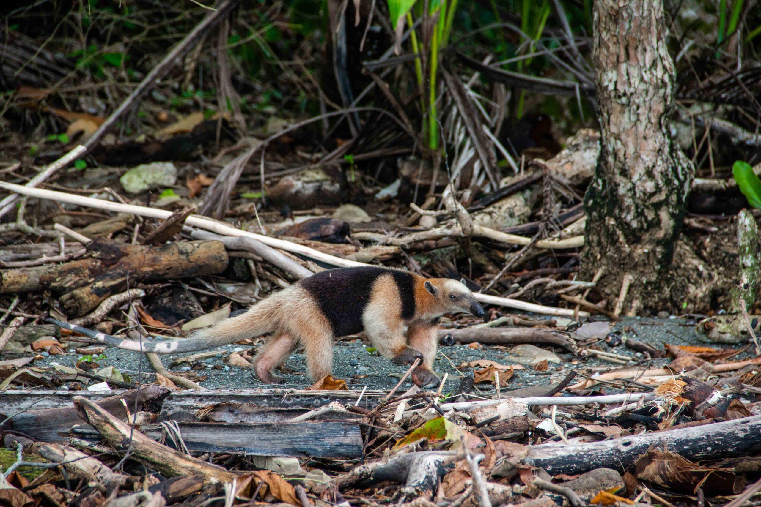 anteater Rancho Burica Costa Rica